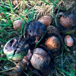 le défi des noix