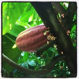 la journée du cacaotier