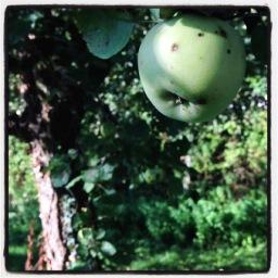 trop trop de pommes